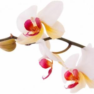 Die bestens bekannten Orchideen Arten
