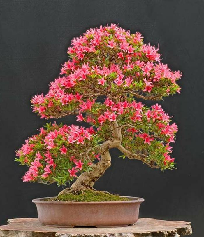 Bonsai-Azalee-Baum-rosa-Blüten-30-jährig