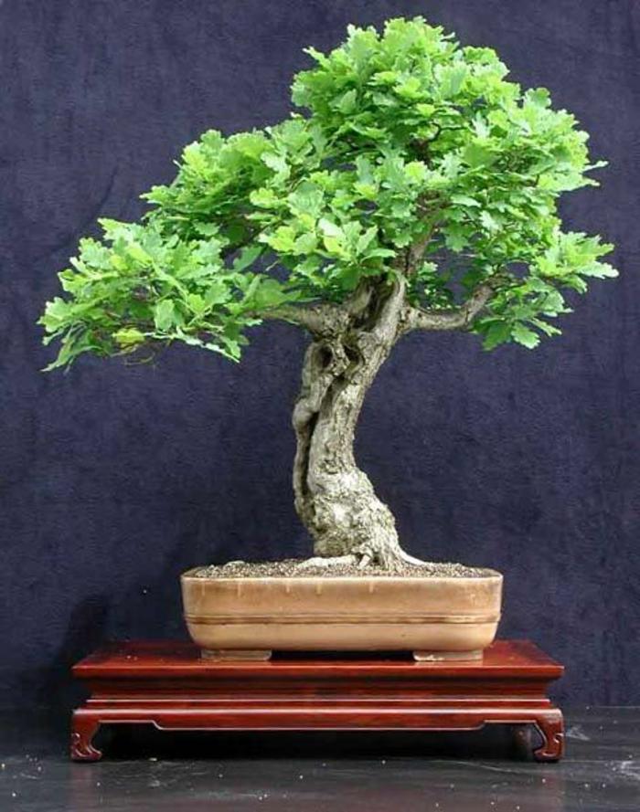 Bonsai-Baum-europäischer-Eichenholz