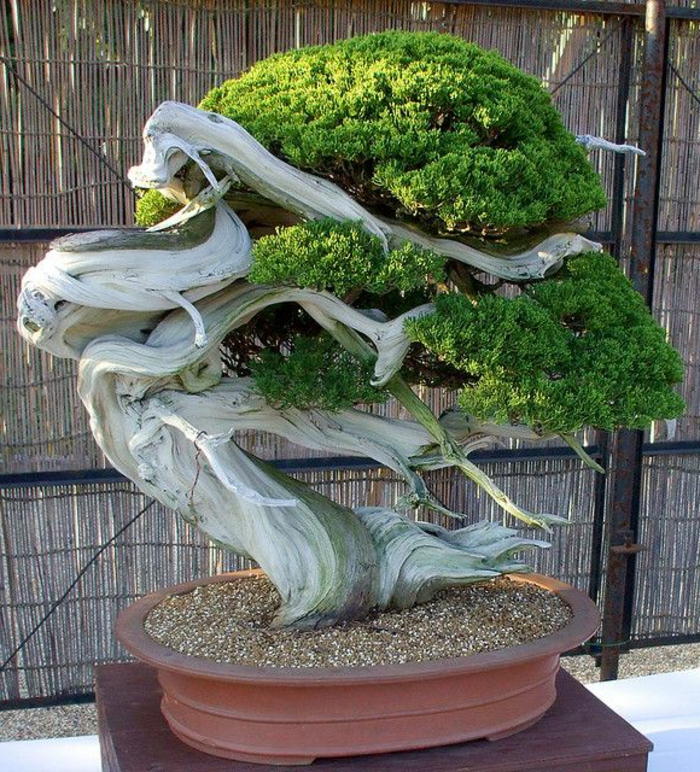 Bonsai-Baum-interessante-Form-ungewöhnlich-großartig