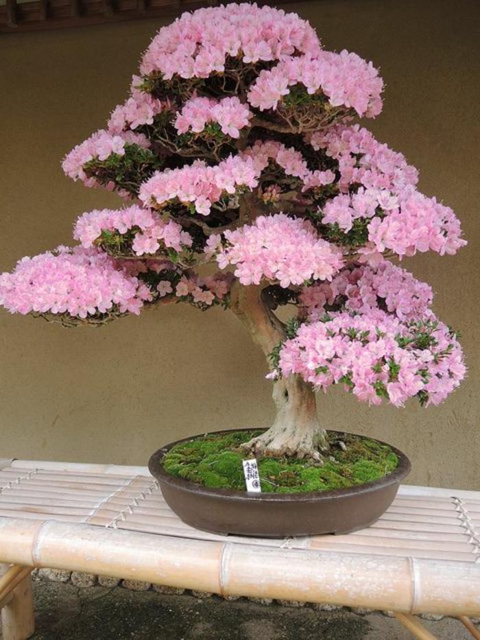 Bonsai-Blumen-Blüten-Azaleen