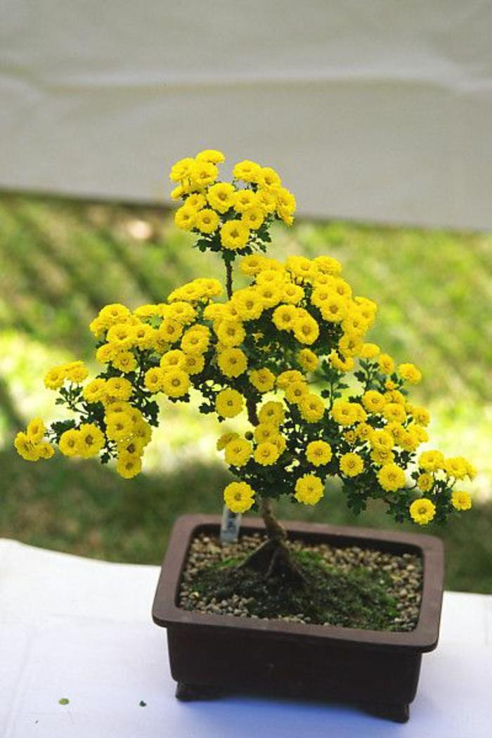Bonsai-gelbe-Chrysantheme-Blumentopf-Moos-dekorative-Steine