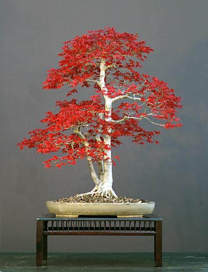 Bonsai-japanischer-Ahorn-rote-Blätter-Kunst