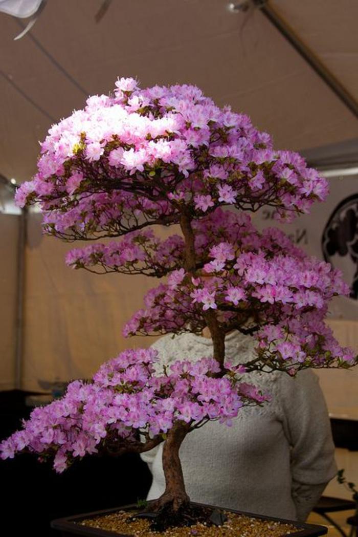 Bonsai-rosa-Blüten-Kirschbaum