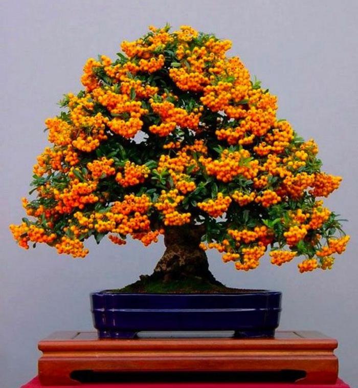 Feuerdorn-Baum-Bonsai-orange-Früchte