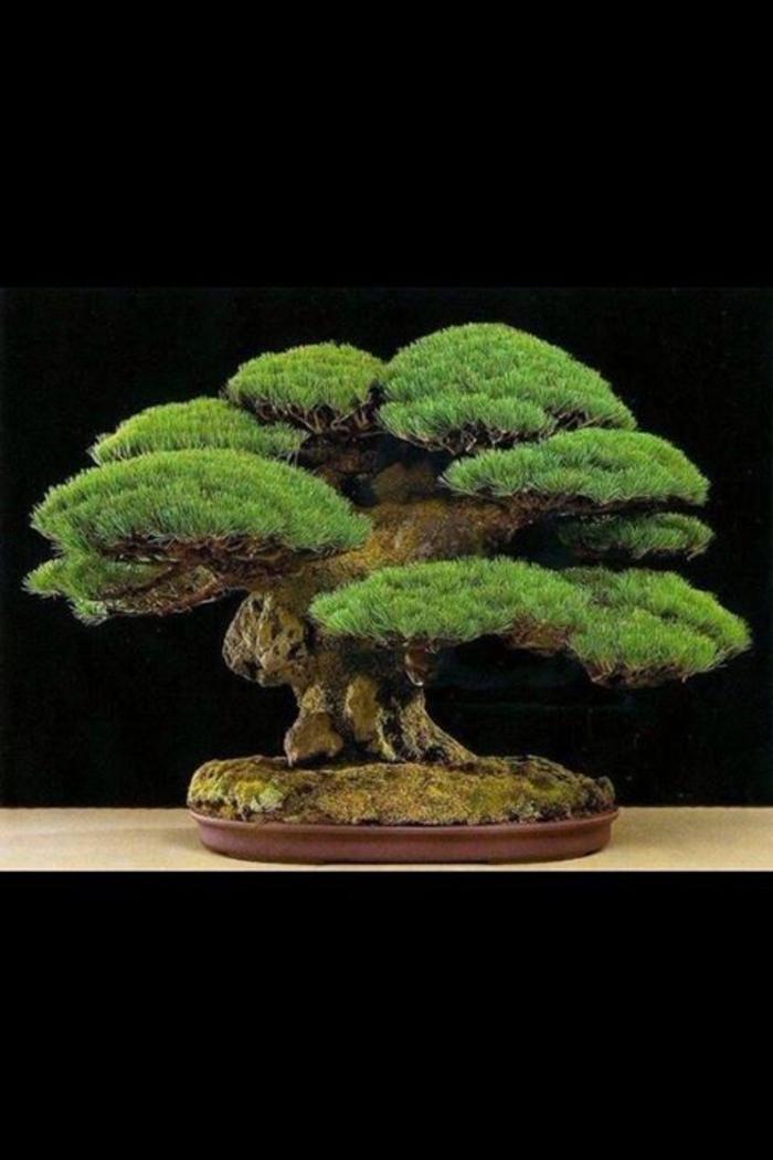 Kiefer-Bonsai-natürlich-authentisch-Kunst