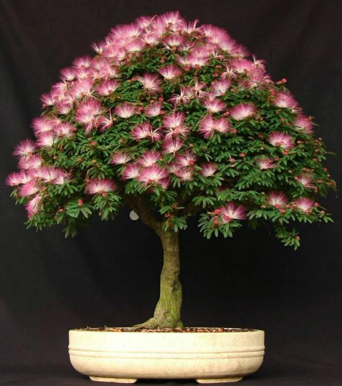 Mimose-Baum-Bonsai-rosa-Blüten-seltene-Baumart