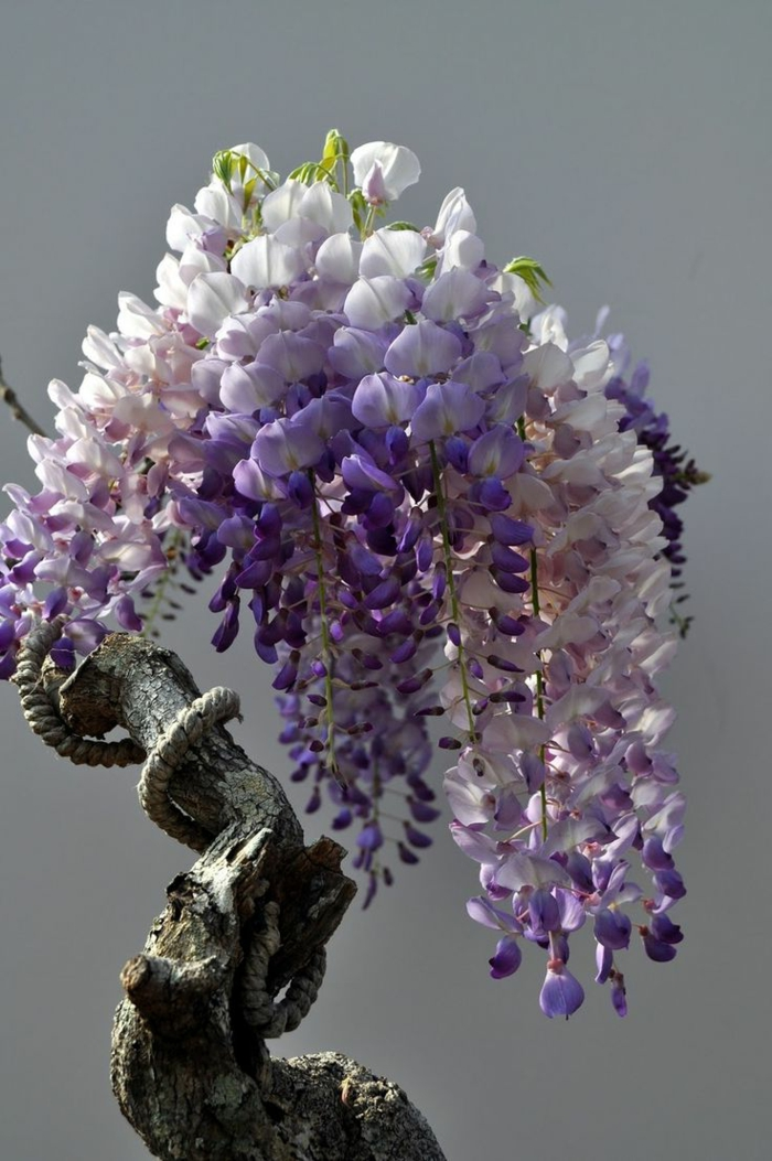 antiker-chinesischer-Glyzinien-Bonsai-Baum-lila-Blüten