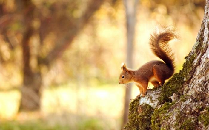hintergrundbilder-zum-herbst-super-schöne-natur-eichhörnchen