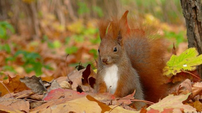 hintergrundbilder-zum-herbst-wunderschöner-wald-eichhörnchen