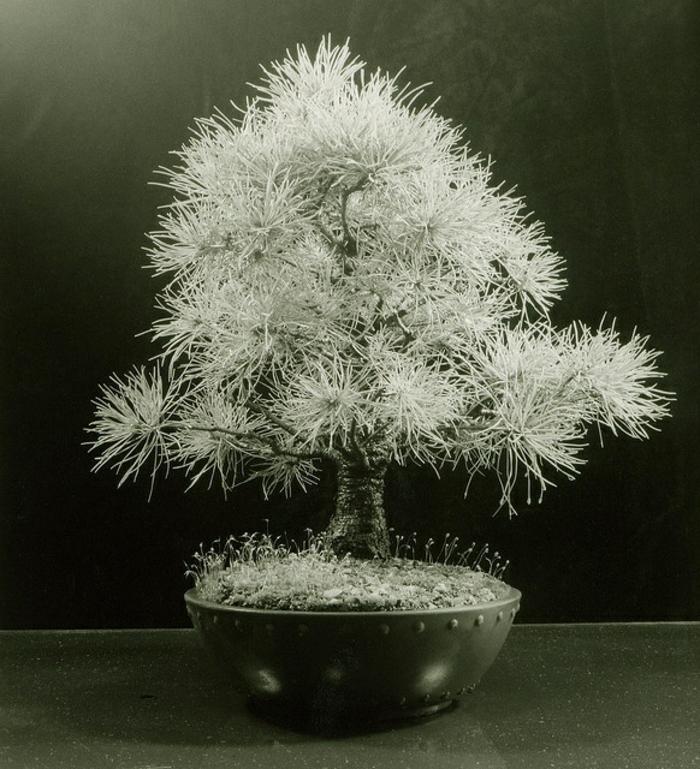 japanische-Kunst-Bonsai-weiße-Kiefer