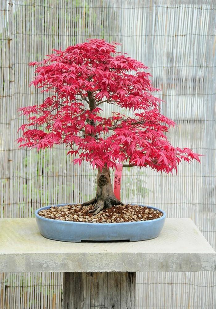 japanischer-Ahorn-Bonsai-rosa-Blätter