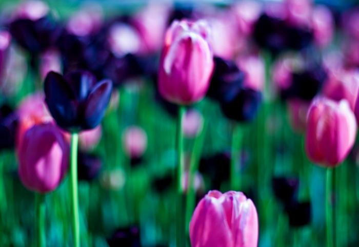 Feld-Garten-Park-Frühling-schwarze-rosa-Tulpen-wunderschönes-Bild-Ausblick
