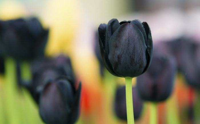 Frühlingsbild-schwarze-Tulpen-Feld-Park-romantisch