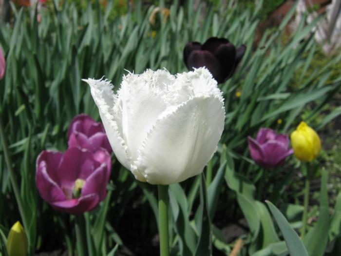 Gras-Natur-schwarze-weiße-rosa-gelbe-Tulpen