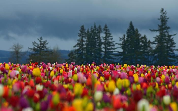 Tulpen-Feld-rosa-schwarze-gelbe-rote-Tulpen-romantisch-bezaubernd-herrlich-Natur-Frühling-frisch