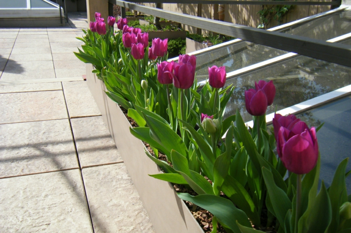 bepflanzung- dachterrasse-tulpen-lila