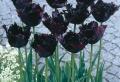 Schwarze Tulpen Fotos – die Natur von nah!
