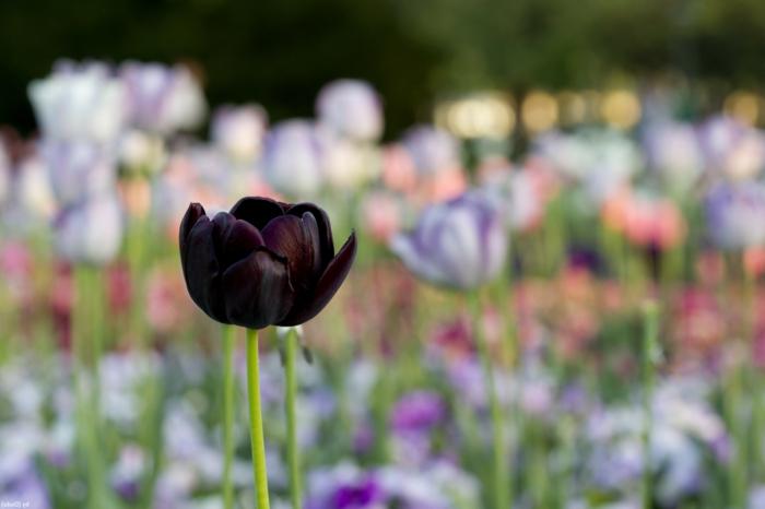 einsame-schwarze-Tulpe-Feld-Garten-Park