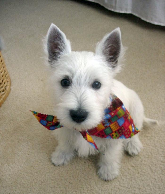 halstuch-für-hund-weiße-haare-wunderschöner-hund