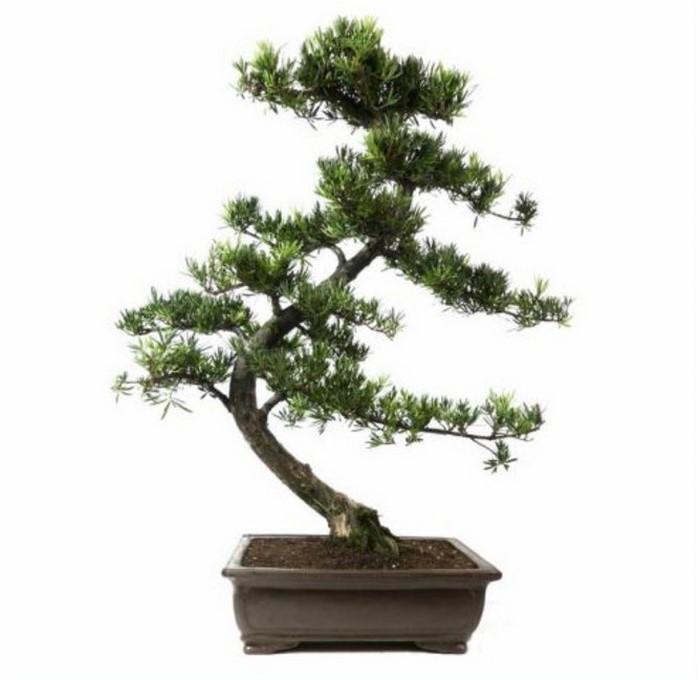 hochzeitsbaum-fur-drinnen-chinesische-steineibe