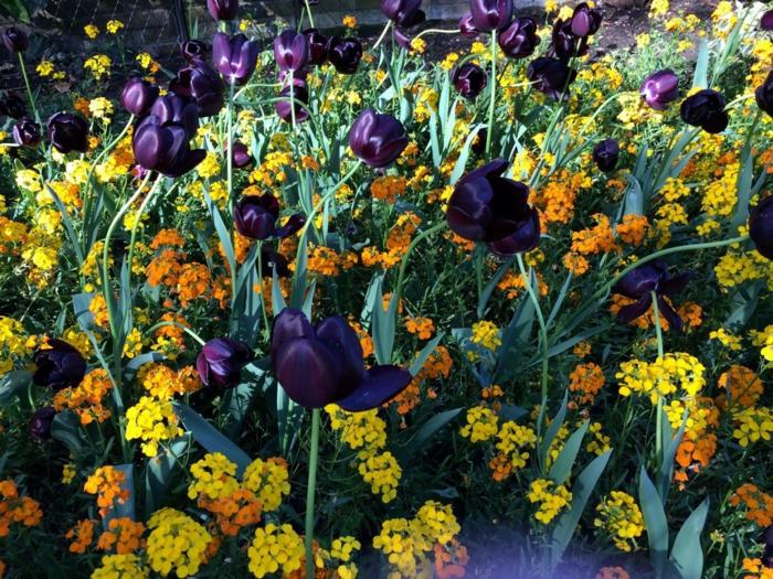 kleiner-Garten-viele-Blumen-gelb-orange-Nuancen-Tulpen-schwarz
