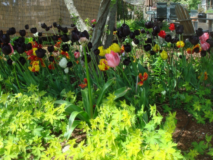 privater-Garten-verschiedene-Blumenarten-schwarze-gelbe-rosa-rote-Tulpen