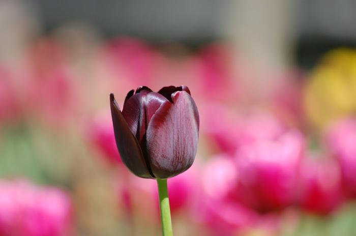 schwarze-Tulpe-Frühling-frisch-herrlich