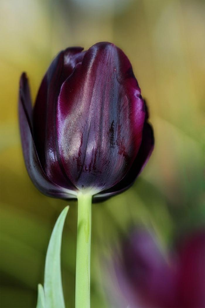 schwarze-Tulpe-romantisch-zärtlich-nostalgisch-faszinierend