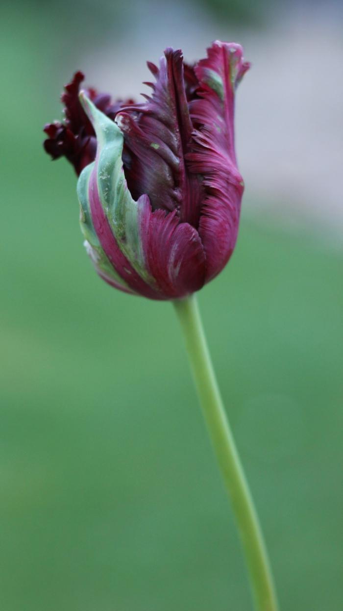 schwarze-Tulpe-spezieller-Sort-interessante-Form