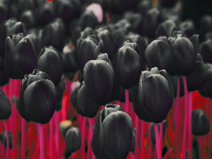 schwarze-Tulpen-traurig-schön-kontrastierend