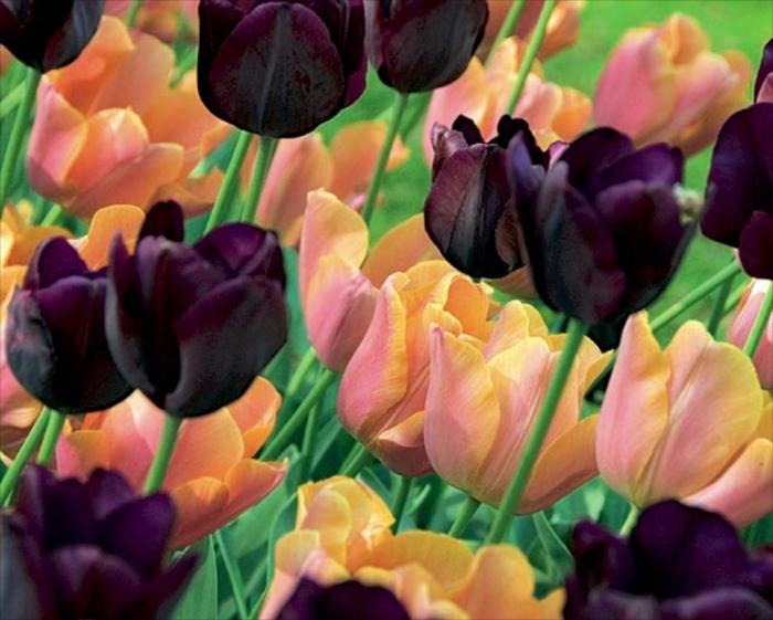 Garten-Tulpen-süße-Nuancen