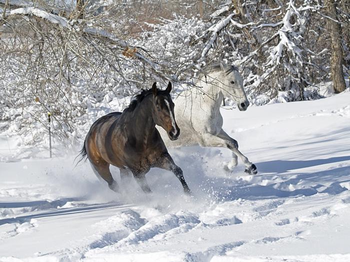 pferde im schnee herrliche bilder zum inspirieren. Black Bedroom Furniture Sets. Home Design Ideas
