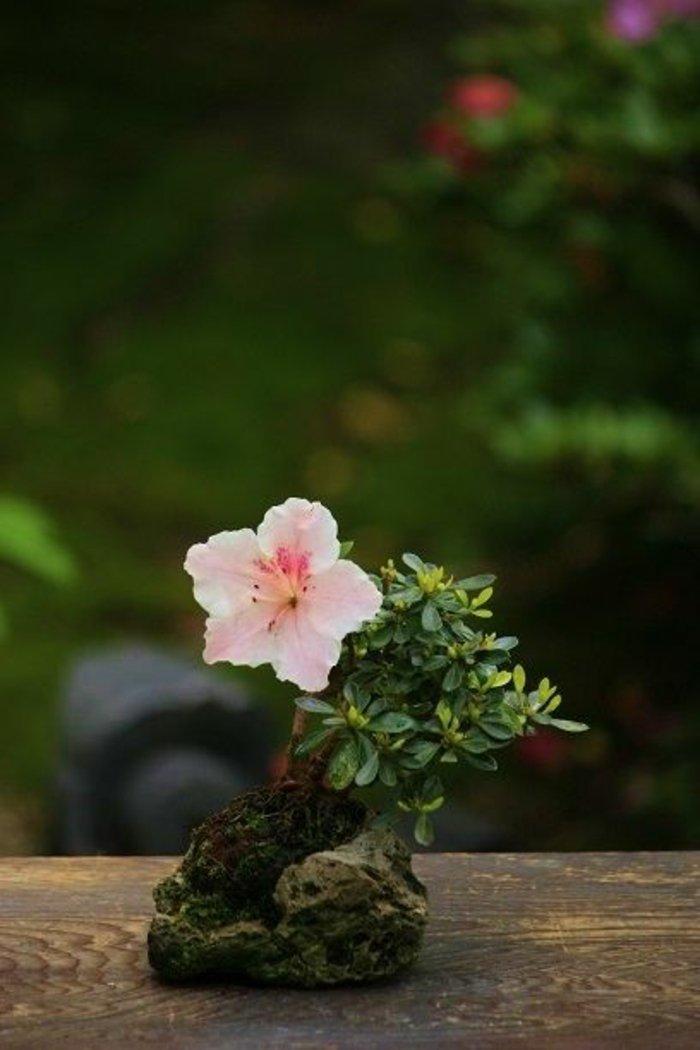 Bonsai-mit-schönen-rosa-Blüten