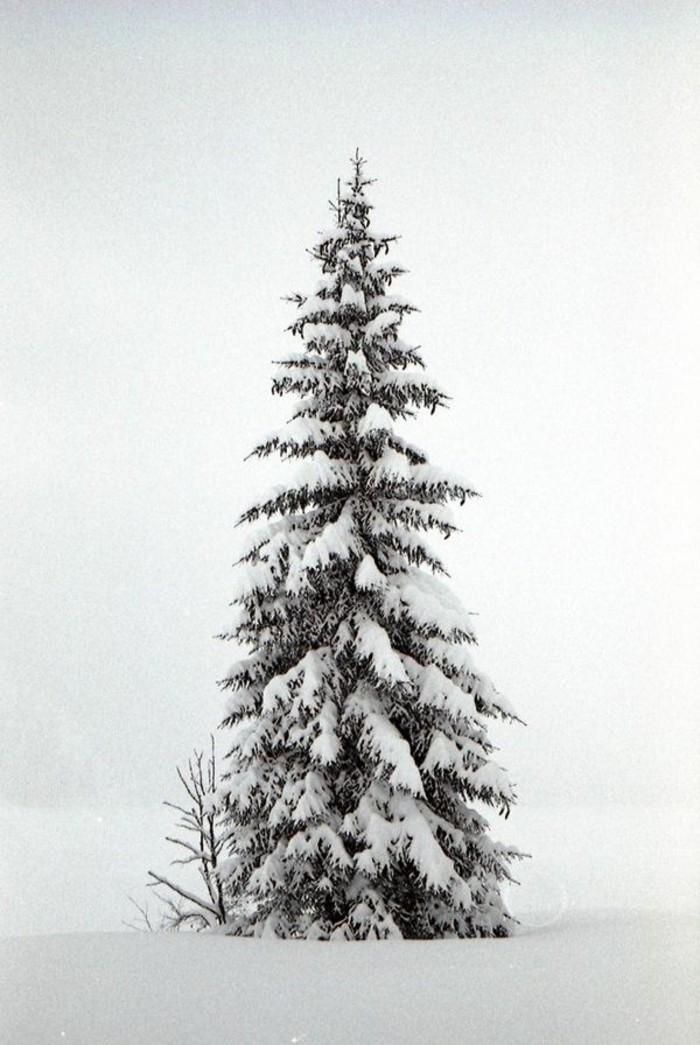Winterlandschaft-Bilder-hoher-Tannenbaum-bedeckt-mit-Schnee