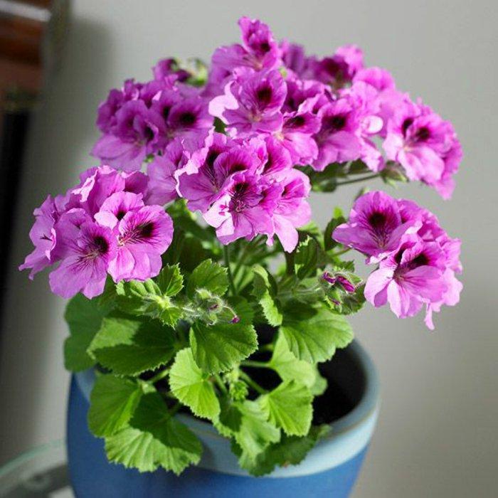 Zimmerblumen-Sort-mit-lila-Blüten