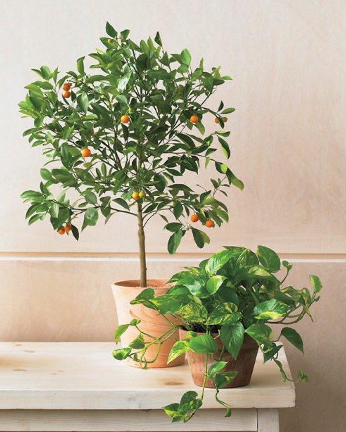 Zimmerpflanzen-Bilder-dekorativen-Orangenbaum-zu-Hause-pflanzen