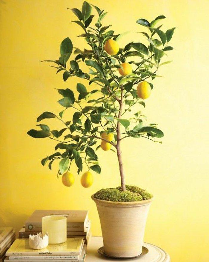 Zitronenbaum-zu-Hause-in-Pflanzentopf-pflanzen