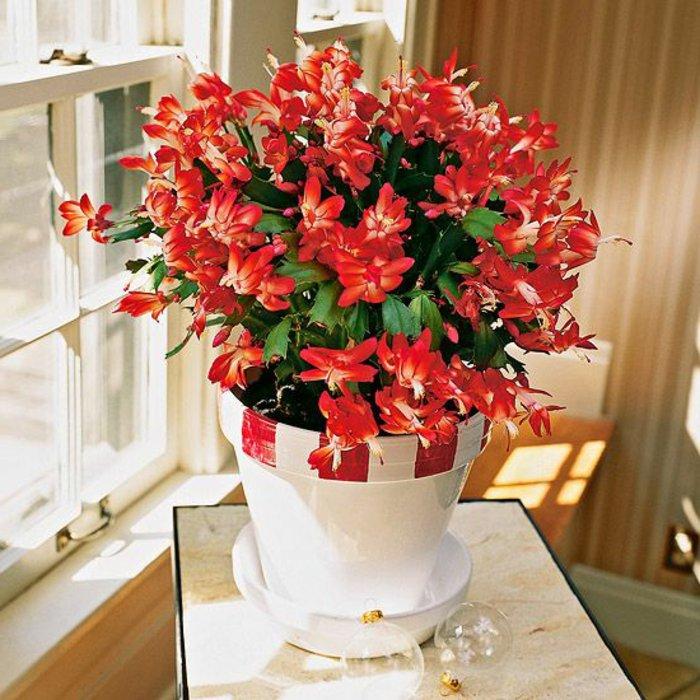 blühende-Zimmerpflanzen-Pflanze-mit-herrlichen-roten-Blüten