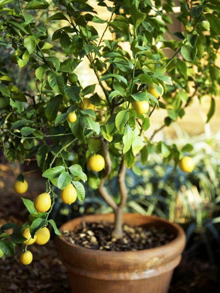 fantastische-Zimmerpflanzen-Bilder-dekorativer-Zitronenbaum