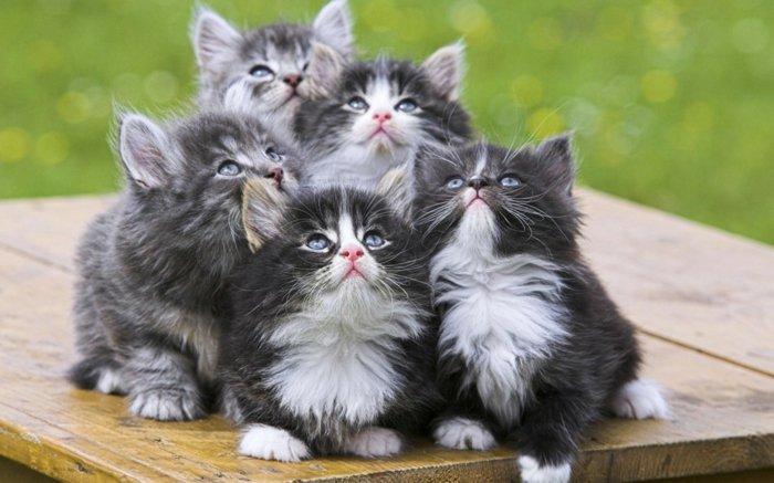 flaumige-süße-Katzenbabys-grau-schwarzes-Fell-mit-weißen-Flecken