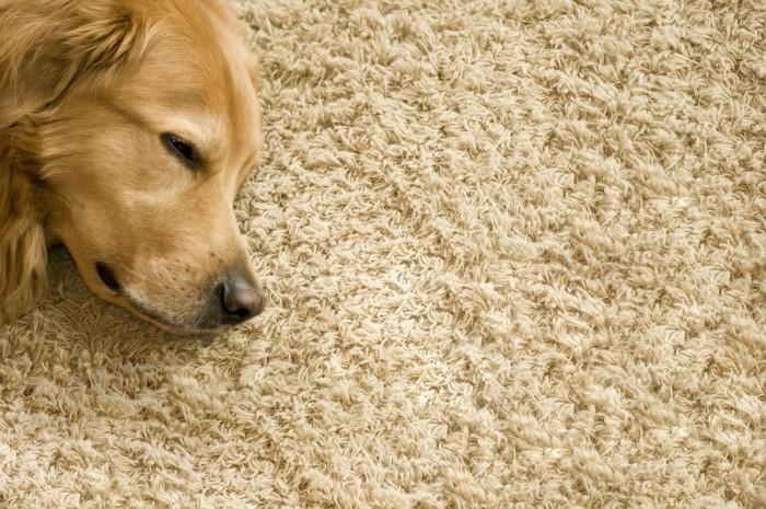 süßer hund auf dem teppich - interessantes foto