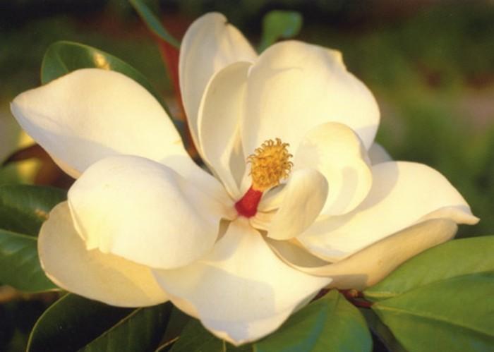 magnolia-farbe-sehr-schöne-blume-foto-gemacht