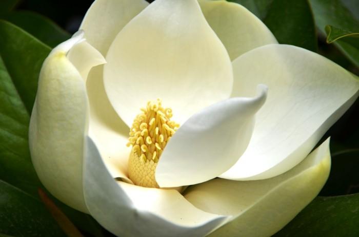 magnolia-farbe-wunderschöne-blumenart-foto-vom-nahen-genommen