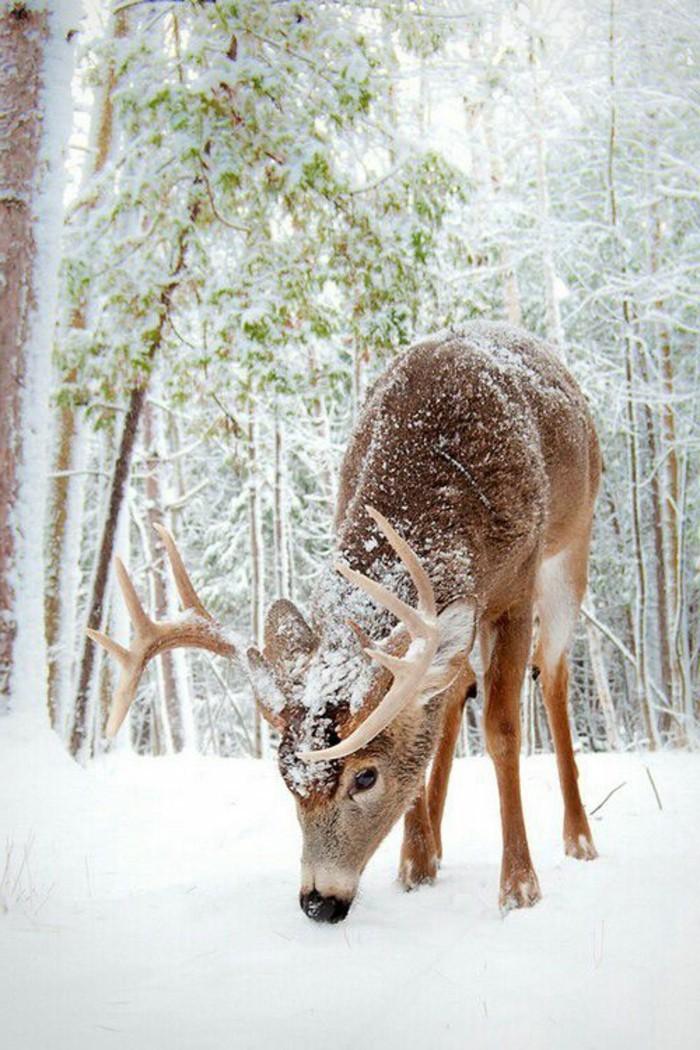 romantisches-süßes-Winterfoto-Hirsch-suchend-nach-Gras-unter-dem-Schnee