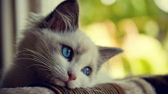 süße-Bilder-von-Babykatzen-träumendes-blauäugiges-Kätzchen