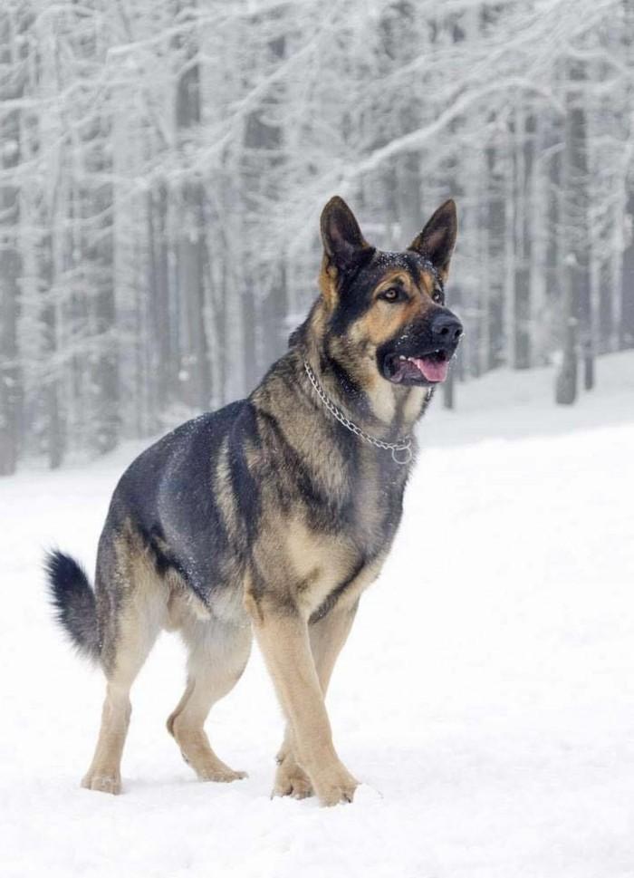 schöne-Winterbilder-deutscher-Schäferhund-im-Schnee