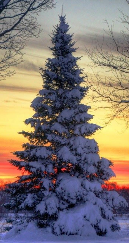 schönes-Winterbild-Tannenbaum-bedeckt-mit-Schnee-am-Sonnenuntergang