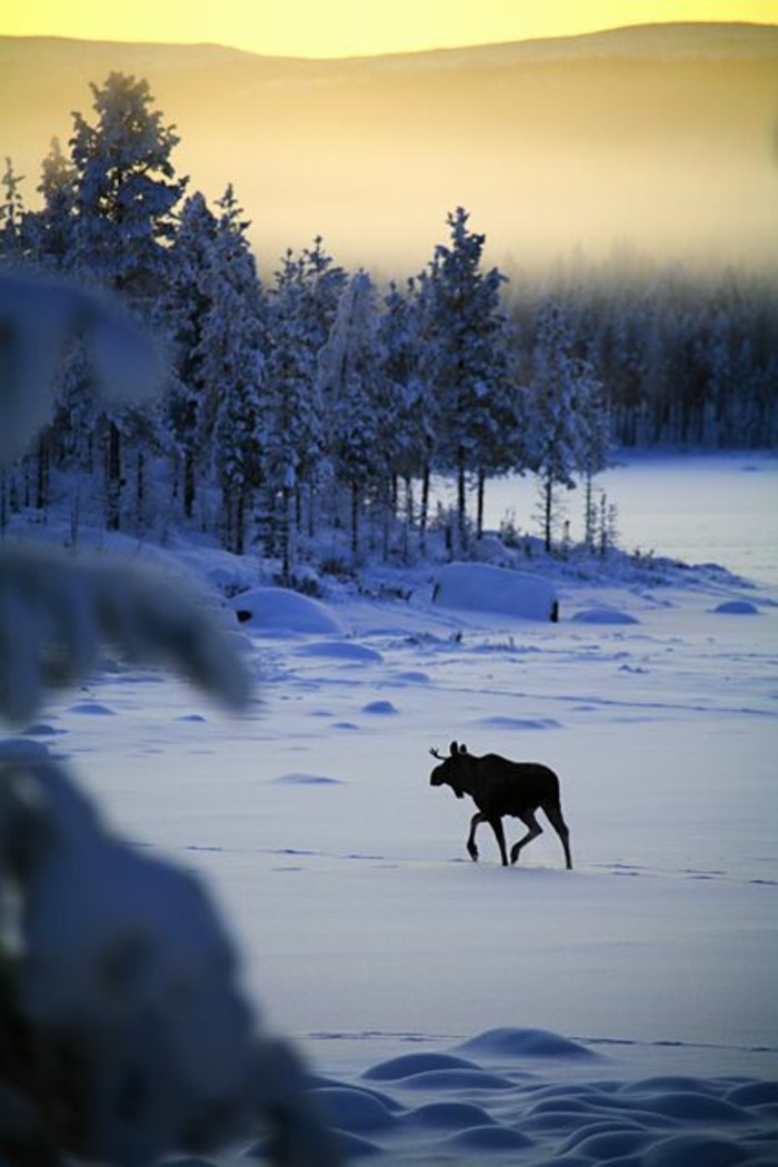 wunderschönes-Winterbild-Elch-im-Schnee-laufend