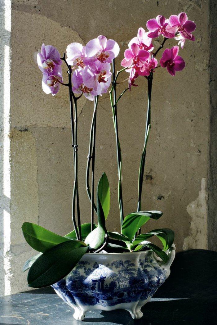zärtliche-Zimmerblumen-Orchideen-in-rosa-und-lila-Nuancen